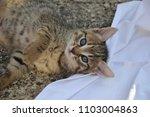 Stock photo cute kitten playing on white blanket kitten laying on white blanket kitten with blue eyes 1103004863