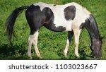 the appaloosa is an american...   Shutterstock . vector #1103023667