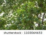 maple tree leaves canopy summer ... | Shutterstock . vector #1103064653