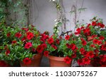 petunia flower stock images.... | Shutterstock . vector #1103075267