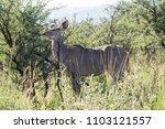 female kudu antelope  buck ... | Shutterstock . vector #1103121557