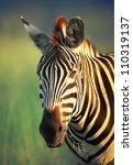 Zebra Portrait   Kruger...