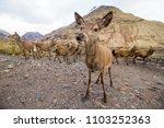 Large Unafraid Herd Of Deer...