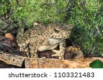 asian giant toad or river toad  ... | Shutterstock . vector #1103321483