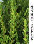 wintergreen boxwood bush   hedge | Shutterstock . vector #1103370683
