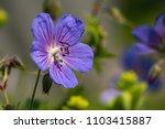 purple blossom of the stork... | Shutterstock . vector #1103415887