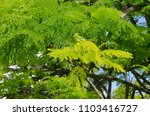 royal poinciana or delonix... | Shutterstock . vector #1103416727