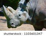 the white rhinoceros or square...   Shutterstock . vector #1103601347