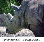 the white rhinoceros or square...   Shutterstock . vector #1103620553
