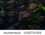 a pack of piranhas under the... | Shutterstock . vector #1103751503