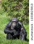 Small photo of A chimpanzee sat on grass