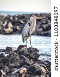 a great blue heron  ardea... | Shutterstock . vector #1103848397