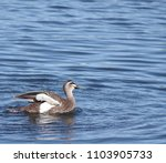 Beautiful Duck Wading In Pond