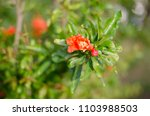 pomegranate blossoms. branch... | Shutterstock . vector #1103988503