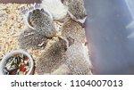 porcupine select background | Shutterstock . vector #1104007013