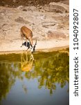 Small photo of One Gazelle near the waters edge with the reflection of itself.