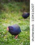 Small photo of Takahe bird new zealand