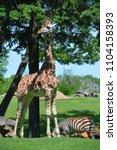 the giraffe  giraffa...   Shutterstock . vector #1104158393
