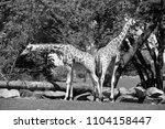 the giraffe  giraffa...   Shutterstock . vector #1104158447