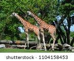 the giraffe  giraffa...   Shutterstock . vector #1104158453