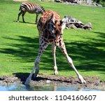 the giraffe  giraffa...   Shutterstock . vector #1104160607