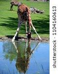 the giraffe  giraffa...   Shutterstock . vector #1104160613