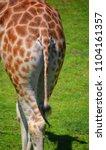 the giraffe back  giraffa...   Shutterstock . vector #1104161357