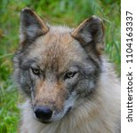Small photo of Gray wolf or grey wolf Canis lupus, also timber or western wolf is a canine native to the wilderness and remote areas of Eurasia and North America. It is the largest extant member of its family