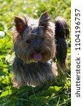 little dog yorkshire terrier...   Shutterstock . vector #1104196757