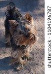 little dog yorkshire terrier...   Shutterstock . vector #1104196787