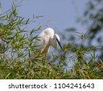 great egret    ardea alba   ... | Shutterstock . vector #1104241643