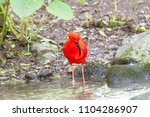red shiny ibis standing in the...   Shutterstock . vector #1104286907