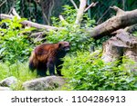 brown wolverine outside on a...   Shutterstock . vector #1104286913