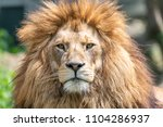 big male african lion with...   Shutterstock . vector #1104286937