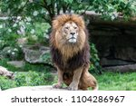 big male african lion with...   Shutterstock . vector #1104286967