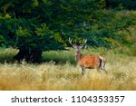 red deer stag  majestic...   Shutterstock . vector #1104353357