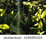close up green garden of lily... | Shutterstock . vector #1104391223