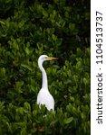 adult great egret bird ardea... | Shutterstock . vector #1104513737