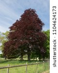 purple beech tree  fagus... | Shutterstock . vector #1104624173