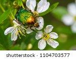 cetonia auratacetonia aurata... | Shutterstock . vector #1104703577