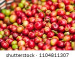 fresh arabica coffee berries in ... | Shutterstock . vector #1104811307