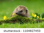 hedgehog  wild  native ...   Shutterstock . vector #1104827453