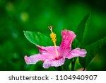 beautiful pink hibiscus blossom ... | Shutterstock . vector #1104940907