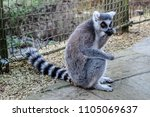 lemur eating food sat on the... | Shutterstock . vector #1105069637