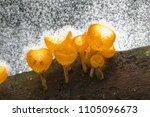 Small photo of Cookeina tricholoma or Champagne mushroom a small hairy cup fungi found in tropical rainforest