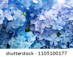 Small photo of Blue Hydrangea (Hydrangea macrophylla) or Hortensia flower with dew in slight color variations ranging from blue to purple. Shallow depth of field for soft dreamy feel.