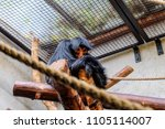 Small photo of Red-faced Spider Monkey sat in its enclosure with foreground rope element