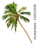 Crown of a palm tree of coconut isolated on white background - stock photo