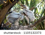 baby egrets playing in nest... | Shutterstock . vector #1105132373
