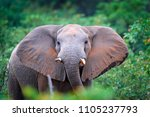 detail of elephant with evening ...   Shutterstock . vector #1105237793